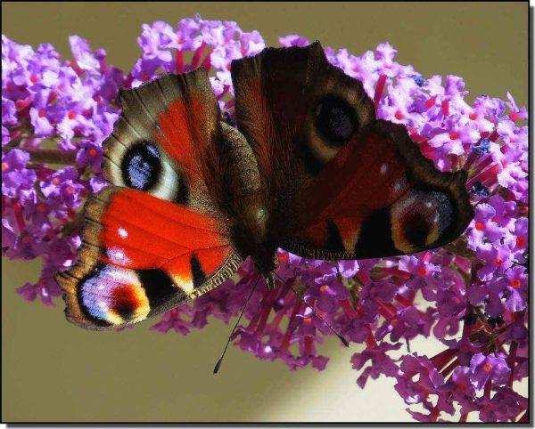 nyári orgona pillangóval