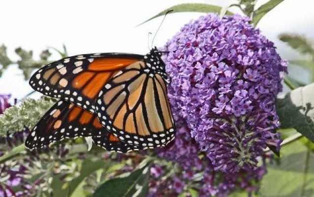 nyári orgona pillangóval2