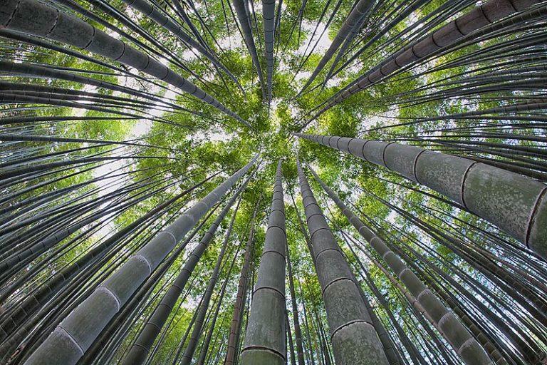 4.-Bamboo-grove-fish-eye-view-looking-up-Arashiyama-Kyoto-Japan