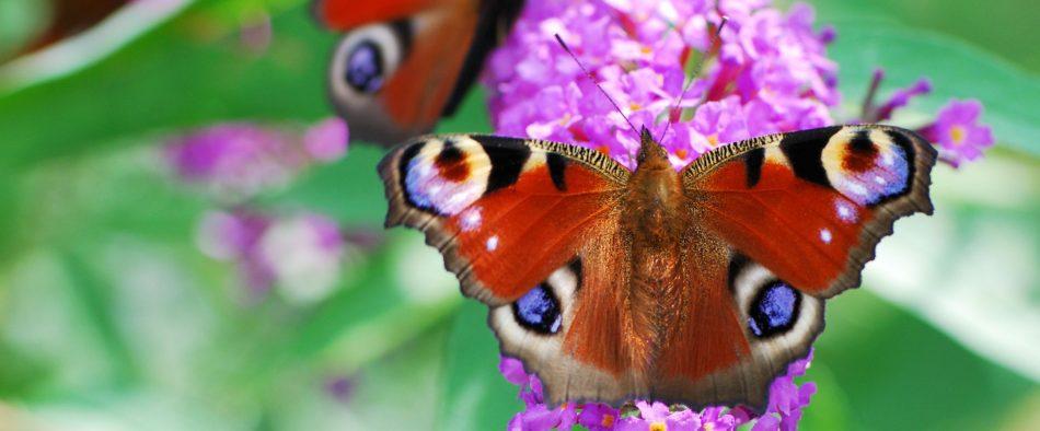 nyari-orgona-pillango
