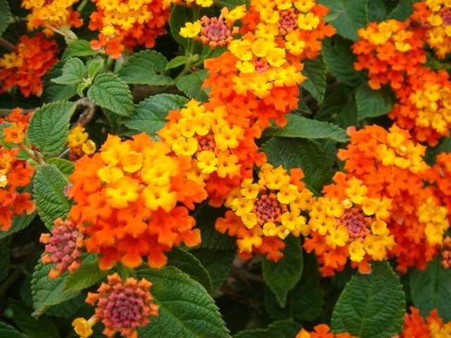 Lantana camara orange