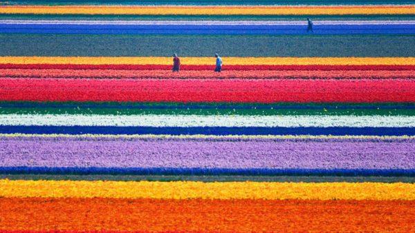 Natural-Tulip-flower-farm