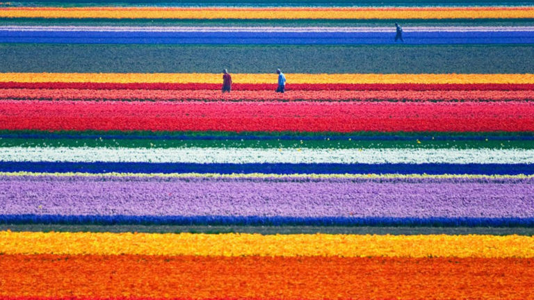 tulipanfarm