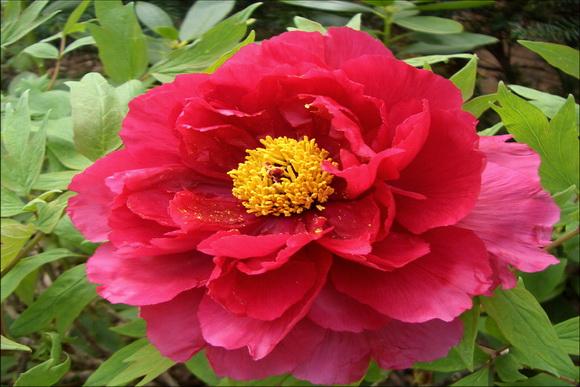 Paeonia_suffruticosa, pünkösdi rózsa