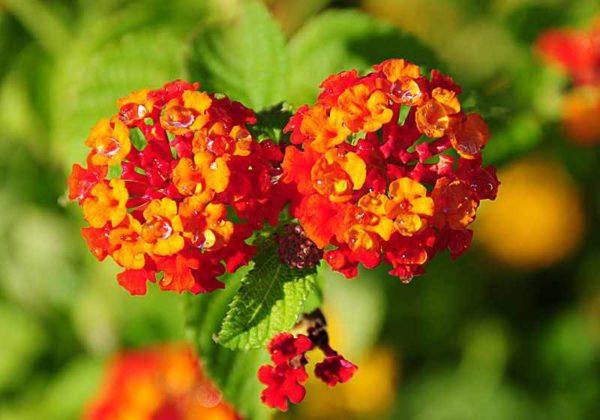 séttányrózsa virágzata
