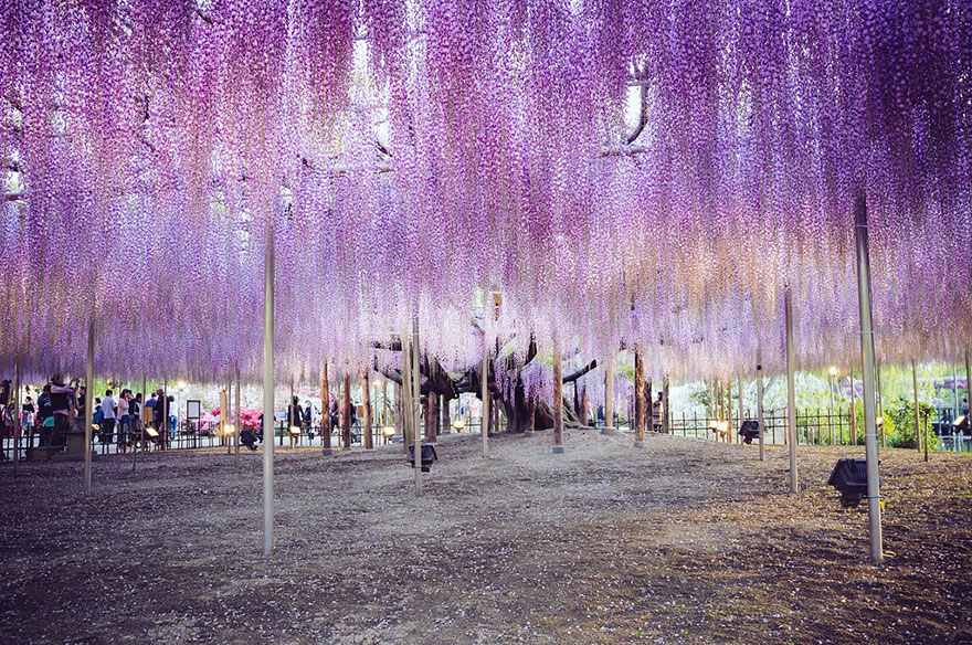 oldest-wisteria-tree-ashikaga-japan-5