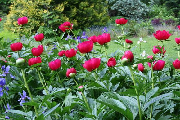 paeonia, pünkösdi rózsa