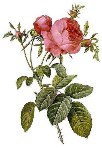 Pierre Joseph Redoute Rosa centifolia illusztrációja