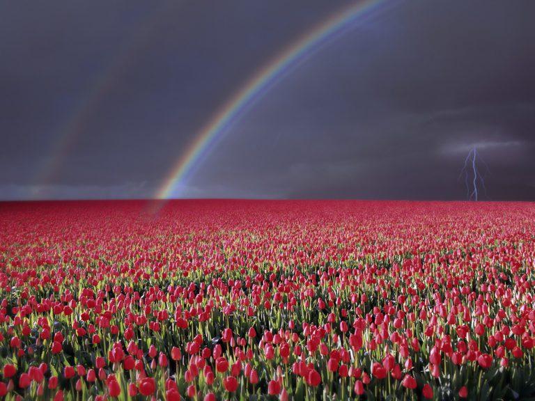Tulips Near Rutten