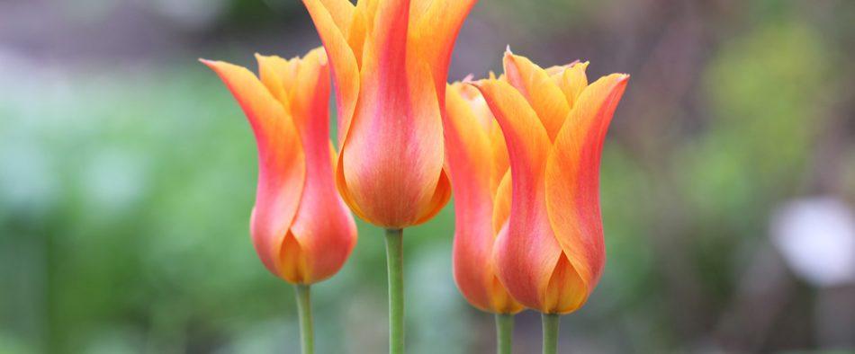 mit-tegyunk-elviragzott-tulipannal