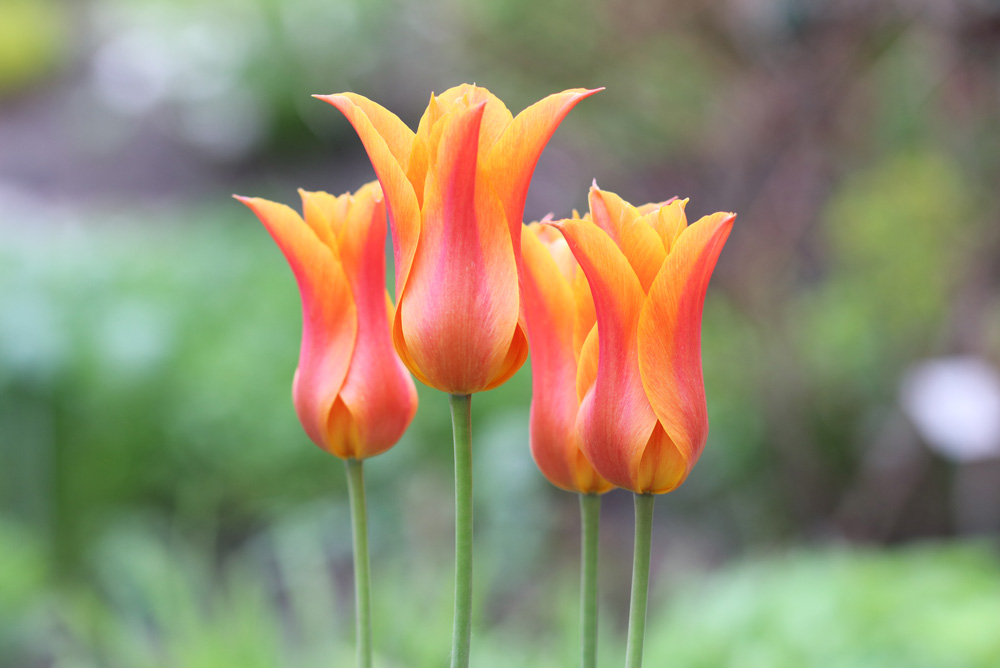 Mit tegyünk az elvirágzott tulipánnal, hogy a következő évben is szép legyen? - videó