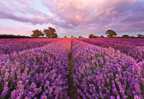 1-615_Lavendel_hd