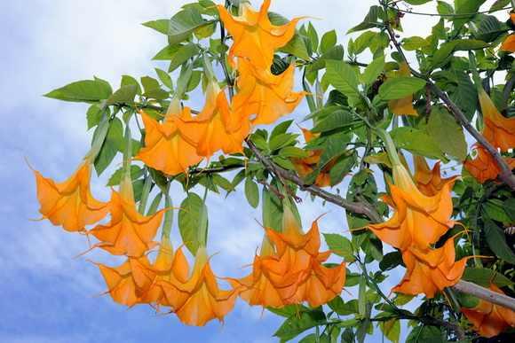 angyaltrombita narancsszín