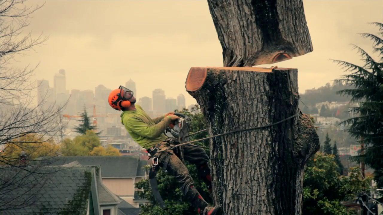 Így kell szakszerűen kivágni egy fát sűrűn lakott övezetben