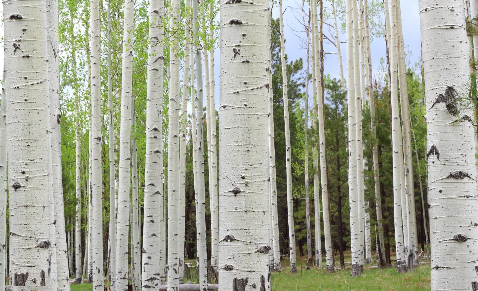 """Betula, azaz a """"családcentrikus"""" nyírfa"""