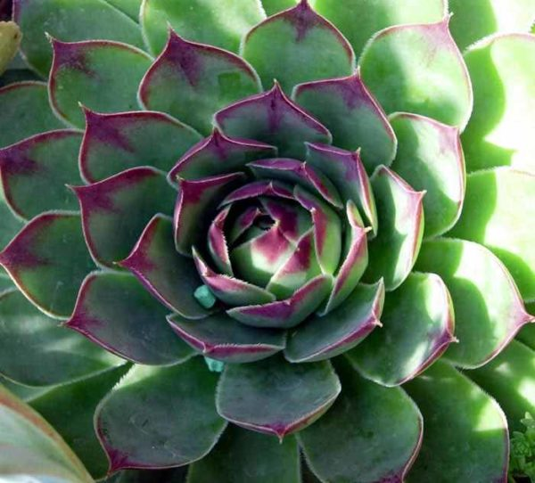 Sempervivum_Sunset
