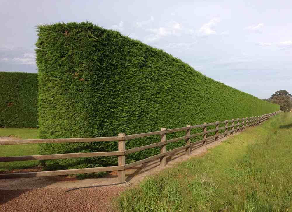 Established-Leighton-Cypress-Hedge