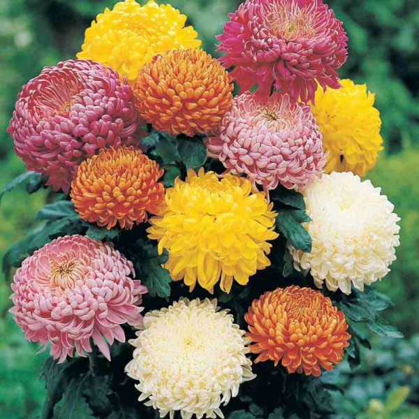 296663-chrysanthemums