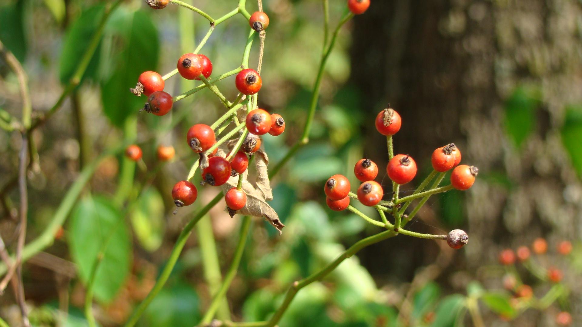 csipkebogyó, a vadrózsa termése