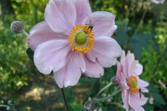 anemone-h