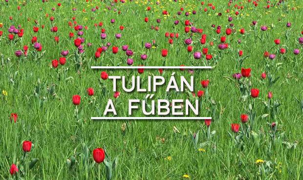tulipán a fűben
