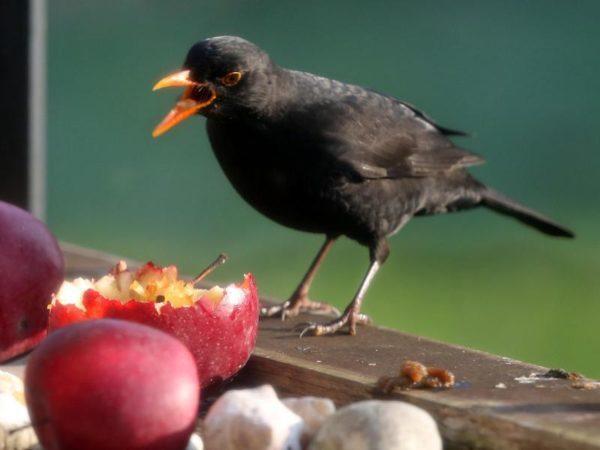a feketerigó szereti az almát