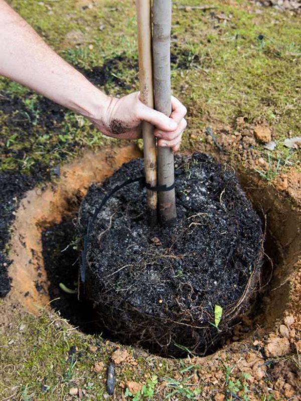 földlabdás fa őszi ültetése