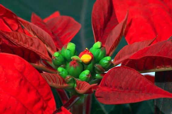 Euphorbia_pulcherrima