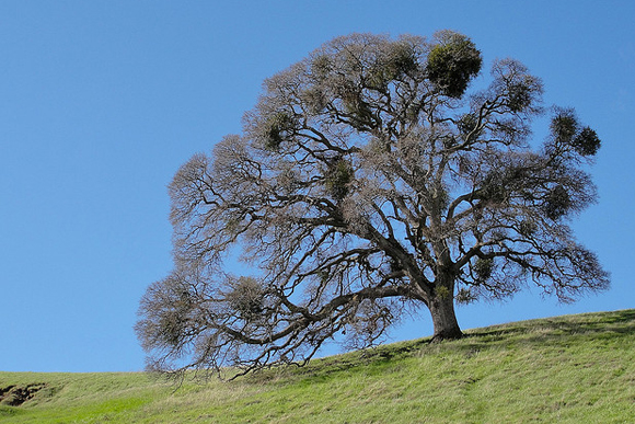 fagyöngy bokor a fán