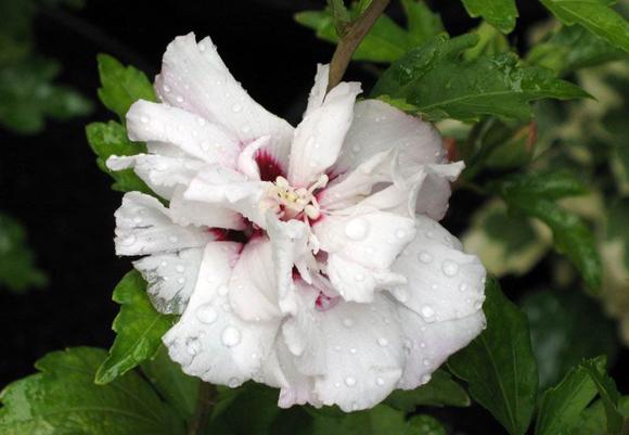 Hibiscus-syriacus-Speciosus