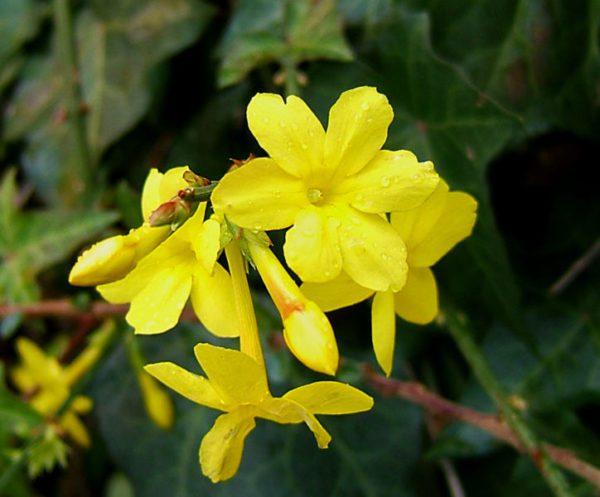 Jasminum nudiflorum cserje