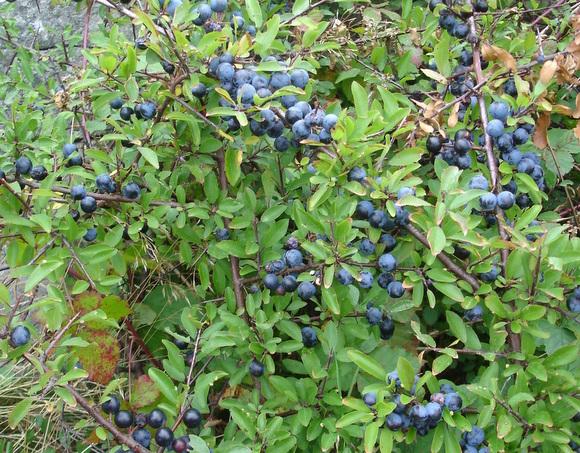 Prunus_spinosa_kokeny-001