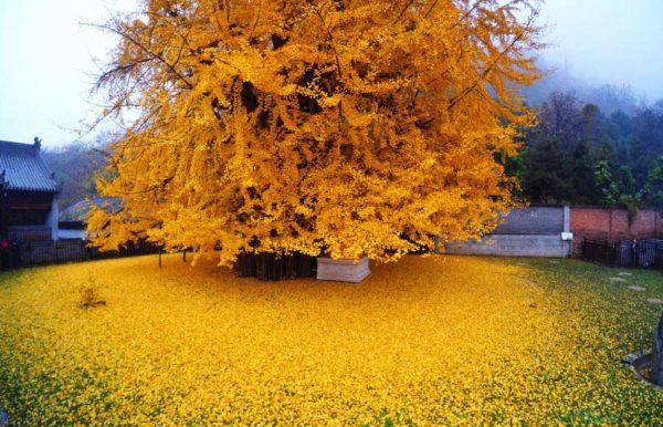 Ginkgo - egy fa az örökkévalóságból