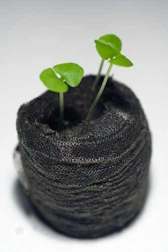 basil_seedlings