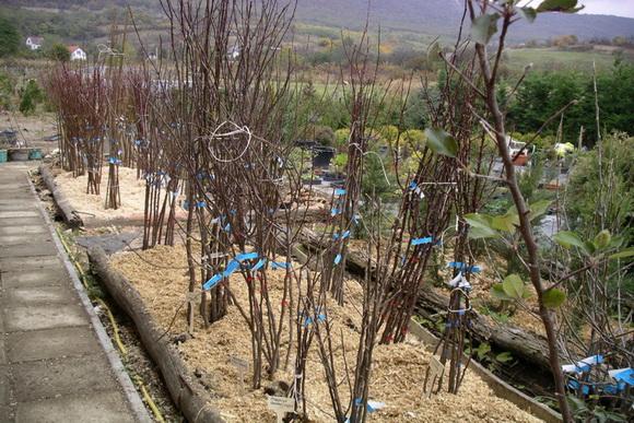 szabadgyokeru-gyümölcsfa-oltványok