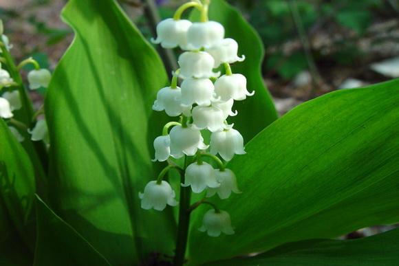gyöngyvirág, május, kert