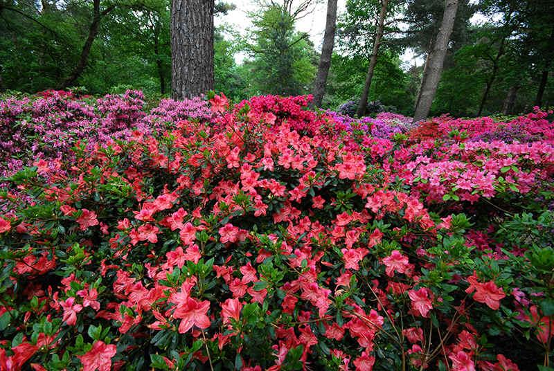 rhododendron_aanplant_azaela_elly_1