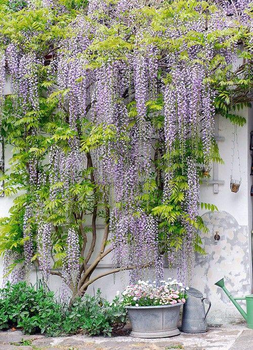 lilaakác-kúszónövény