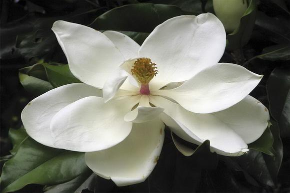 Magnolia-feher