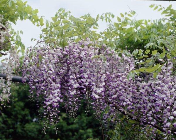 Japán lilaakác