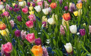 hagymás virágok ültetése