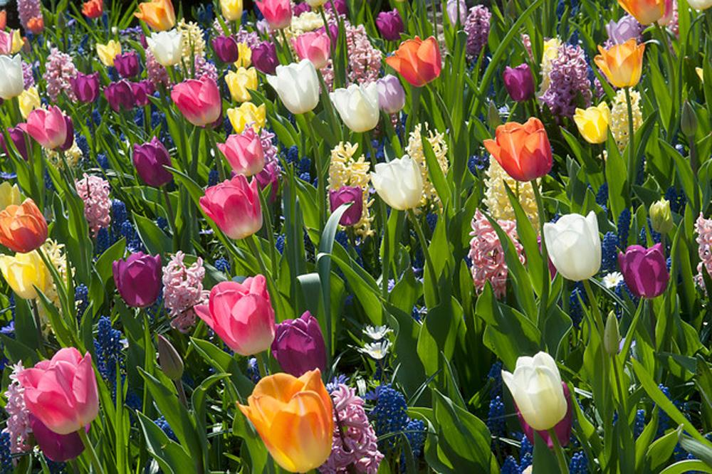 Hagymást is hagymással! Ültetési, gondozási útmutató a hagymás virágokhoz