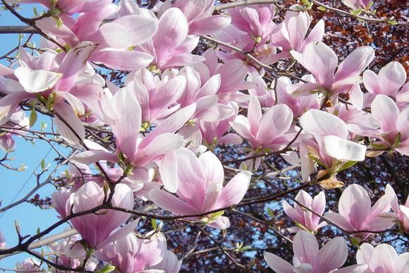 magnolia-jo