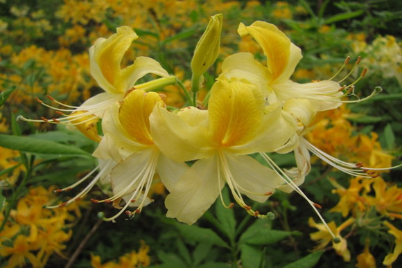 rhododendron_.jo_