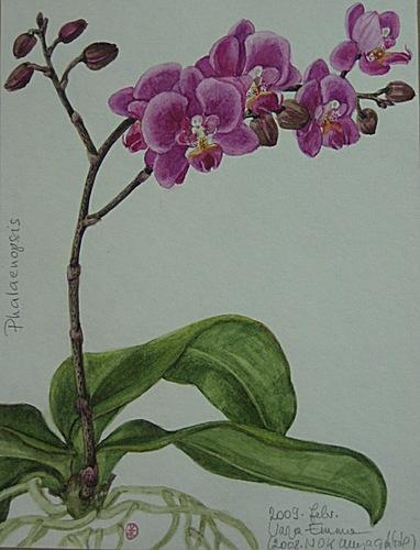 phalaenopsis-lepkeorchidea