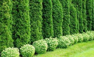 örökzöls, sövény, metszés, ültetés