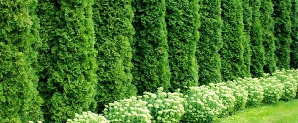 örökzöld sövénynövény