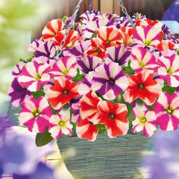 egynyariak-petunia-ultetese