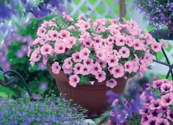 GGG-Sweet-Petunia