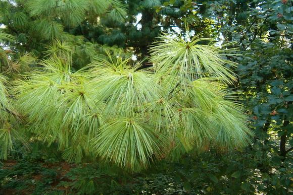 Pinus wallichiana - selyemfenyő